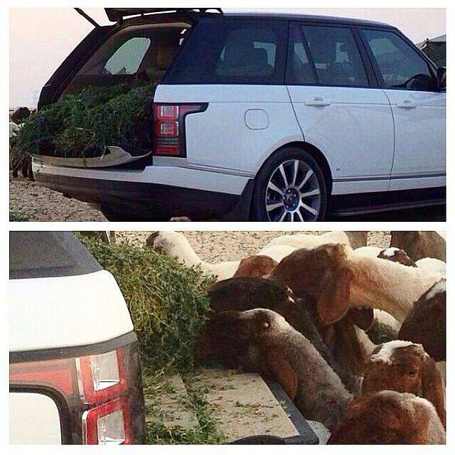 range-rover-sheep